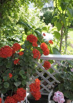 Ihanat kesäkukat: näin onnistuu kylvö, hoito ja läpi kesän jatkuva kukinta | Meillä kotona
