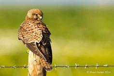 Peneireiro-vulgar | Common kestrel | Falco tinnunculus