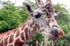 Chioke the Giraffe - Woodland Park Zoo Seattle Woodland Park Zoo, Wildlife, Adventure, Animals, Animales, Animaux, Animal, Adventure Movies, Animais