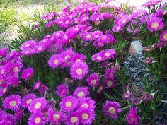 làs flores se abren solo con el sol, duran un mes en primavera y son espectaculares