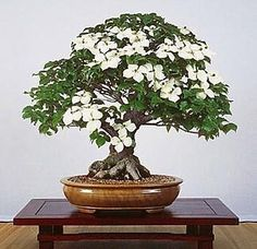 Amazon.com: Chinese Kousa Dogwood 10 Seeds - Cornus - Tree/Bonsai: Patio, Lawn & Garden
