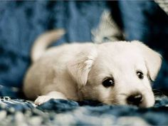 Cute Animals and People Pictures : Cute little yellow lab puppy