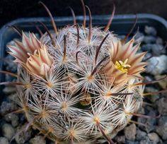 Sementes de Mammillaria gasseriana - Garden Mania Sementes e Mudas