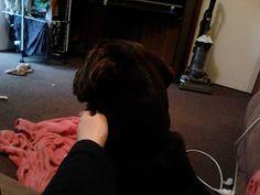 cadbury chocolate lab Labrador puppy