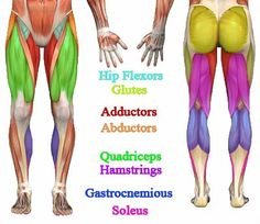 Finally a muscle chart for the womans body with major muscle lower body major muscle diagram ccuart Choice Image