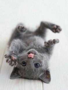 Russian Blue Cats Kittens Very interesting post: TOP 32 Cats Pictures.сom lot of interesting things on Funny Cat. - Very interesting post: TOP 32 Cats Pictures.сom lot of interesting things on Funny Cat. Pretty Cats, Beautiful Cats, Animals Beautiful, Cute Baby Animals, Animals And Pets, Funny Animals, Cute Cats And Kittens, Kittens Cutest, Baby Kittens