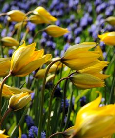 "Tulipa sylvestris A 16th century heirloom, the 'Florentine Tulip' was popularized by Thomas Jefferson in his garden at Monticello. Sweetly fragrant, its elliptical, bright yellow flowers open with distinctive green exterior petals that pale to chartreuse as it matures. Often a good perennial, it stages a wild and wonderful garden dance. Bulb size: 5 to 6 cm. April. 8"" to 12"". HZ: 5-8."
