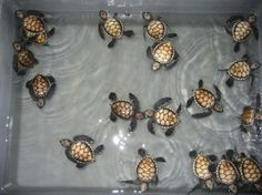 Google Image Result for http://media-cdn.tripadvisor.com/media/photo-s/01/04/48/c8/baby-turtles.jpg