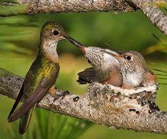 Nestbouw bij de kolibrie (ook wel hummingbird genoemd, met video)
