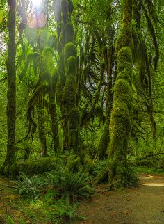 Hall of Mosses Trail, Hoh Rainforest, Olympic National Park, Washington