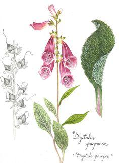 dessins botaniques (2)