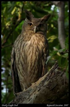 Dusky Eagle Owl (Bubo coromandus) - Location: India. October 2007. Photo by Rajneesh Suvarna.