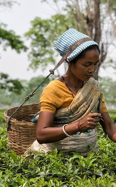 Workers harvesting tea in the Assam region of India | The World's Top Tea Travel Destinations And Experiences