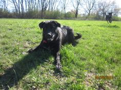 Roxi is an adoptable Labrador Retriever Dog in Saukville, WI. UPDATED: 4-6-12 �Litter Name:� The Nix Crew Name: Roxi ......