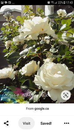 White Roses, Crown, Plants, Jewelry, Corona, Jewlery, Jewerly, Schmuck, Jewels