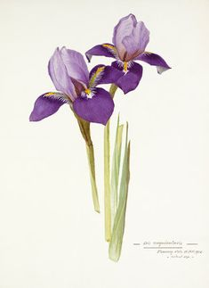 Watercolour on paper entitled Iris unigularis attributed to a Miss Williamson. Creator  Miss Williamson Date  11th February 1905