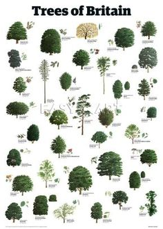 the tree identification guide - Bing images Types Of Trees Uk, Trees And Shrubs, Trees To Plant, Leaves Of Trees, Garden Trees, Garden Plants, Tree Leaf Identification, Tree Arborist, Landscape Design