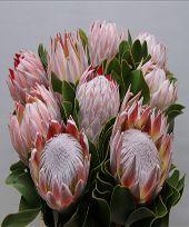 Protea - Big
