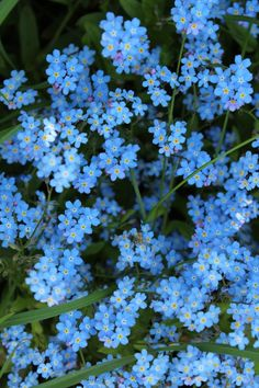 Forget-Me-Nots Myosotis Sylvatica Flower Aesthetic, Blue Aesthetic, Blue Wallpapers, Pretty Wallpapers, Aesthetic Iphone Wallpaper, Aesthetic Wallpapers, Flower Backgrounds, Wallpaper Backgrounds, Wild Flowers
