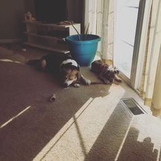 I big dog shall teach you tiny dog how to properly chew the stick #dogsofinstagram #harrier #mastiff #boerboel