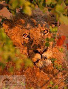 Lev, lion (Panthera leo), South Africa.