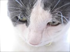 Cute cat close up. Grey and white Sammy