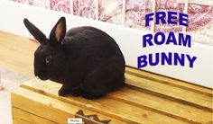 Tips on how to live with a free-roam bunny (no cage & no play pen!) Disclaimer: These are recommendations, and not guarantees! These methods work for me and . House Rabbit, Pet Rabbit, Bunny Play Pen, Rabbit Information, Bunny Toys, Bunnies, Raising Rabbits, Cat Shedding, Honey Bunny
