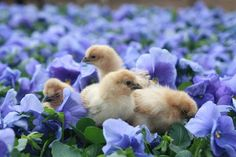 Baby chicks in flowers.