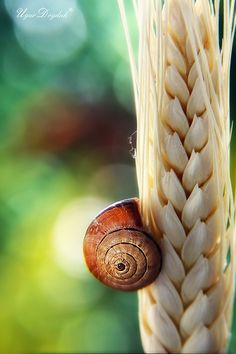 Even snails have to eat. This one's sticky foot keeps him glued to a stalk of wheat.
