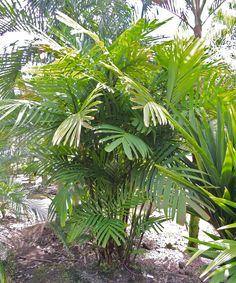 Pinanga sylvestris Marcus garden, Hawaii