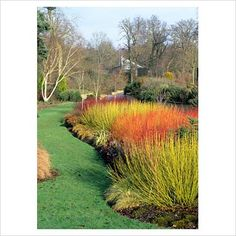 GAP Photos - Garden & Plant Picture Library - Winter border with Cornus 'Midwinter Fire', Cornus stolonifera 'Flaviramea' and Cornus alba 'Sibirica' in Savill gardens Windsor - GAP Photos - Specialising in horticultural photography