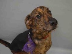 09/19/2016 SUPER URGENT Manhattan Center NYC ADOPT ROSE  – TO BE DESTROYED A1090052  SPAYED FEMALE, BL BRINDLE / BROWN, AM PIT, 2 years old, ex-pet, healthy apart from cut on ear. Needs an assessment  urgently requested by an interested person to determine health and temperament before adoption can take place. Watch a video of her on link. Past Due Out Date 09/16/2016.
