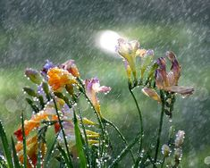 Freesia in the Spring rain