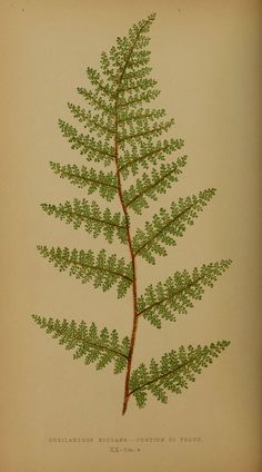 Ferns stand for sincerity according to the Victorian language of flowers. Tattoo Uk, Fern Tattoo, Get A Tattoo, Botanical Tattoo, Botanical Prints, Future Tattoos, New Tattoos, Tatoos, Illustration Botanique
