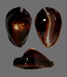 Cypraeidae  Zoila rosselli latistoma Lorenz, 2002  54,63mm  Prov. - Albany - Australia -20/40m
