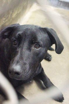 *** SUPER URGENT!! Must be adopted before 7pm Tuesday 08/05/14 or will be KILLED!!  Lab male ~1-2 years old ~ Kennel A7~ Available NOW ****$51 to adopt   Located at Odessa, Texas Animal Control. Must have a valid Drivers License and utility bill with matching address to adopt. They accept Credit Cards, cash or checks. We ARE NOT the pound. We are volunteers who network these animals to try and find them homes. Please send us a PM if we can answer any questions for you.