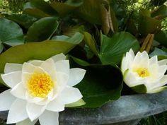 Un LAGHETTO MINI in una TINOZZA Mini Pond, Plants, Gardens, Plant, Planets