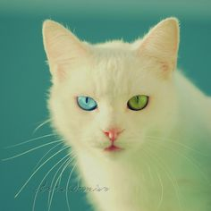 Rare Eye Colors in Cats - Bing images I Love Cats, Cute Cats, Funny Cats, Rare Eye Colors, Two Different Colored Eyes, Rare Eyes, Here Kitty Kitty, Pretty Cats, Pretty Kitty