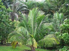 Beccariophoenix fenestralis - Palmpedia - Palm Grower's Guide