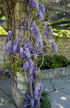 Wisteria Floribunda - Japanese Wisteria // Zone 3 accent // Front garden…