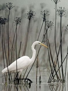 Great white egret (Ardea alba) wading among tall black stems and seed pods. Pretty Birds, Love Birds, Beautiful Birds, Animals Beautiful, Cute Animals, Funny Bird, Foto Macro, Photo Animaliere, White Egret