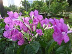 Flowers in Singapore: Combretum erythrophllum (Bush Willow)