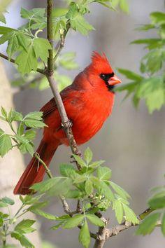 Cardinal                                                       …