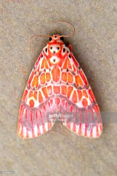 Meal Moth type a colourful small fly sitting on the floor. Weird Insects, Bugs And Insects, Beautiful Bugs, Beautiful Butterflies, Cute Moth, Colorful Moths, Moth Wings, Cool Bugs, Patterns In Nature