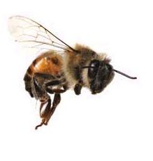 bee, for my tattoo