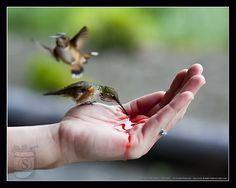 Hand Feeding Hummingbirds in Alaska http://www.salterylodge.com/blog/hand-feeding-hummingbirds/