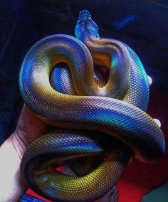 White lipped pythons (also known as D' Albertis pythons) look iridescent under the right light.