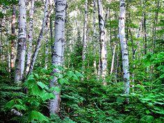 White birch Forest | White Birch Forest 04 | Flickr - Photo Sharing!