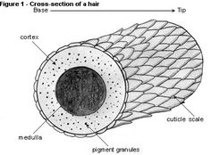 Image result for hair strand