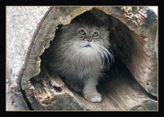 pallas cat | Flickr - By Dailyville